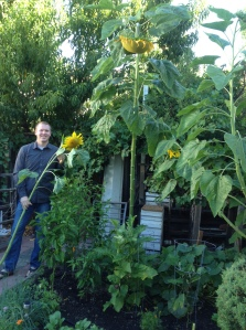 Carson sunflowers